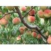 供应晚熟桃金秋晚熟红蜜桃、桃树苗、桃树苗新品种