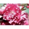 一流的中国爱情山桃花节推荐 晋州赏桃花